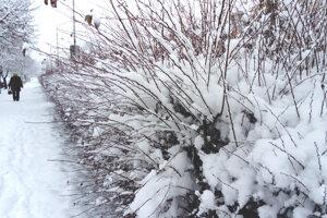Zasnežený živý plot na Ulici M.R. Štefánika v Leviciach.