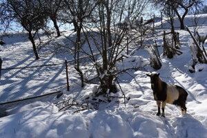 Tu chodievala jelenica na jablká. Pán Kuzma jej ich prehadzoval cez plot.