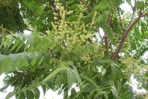 Listy a kvety invázneho druhu pajaseň žliazkatý. Pôvodom je z Ázie.