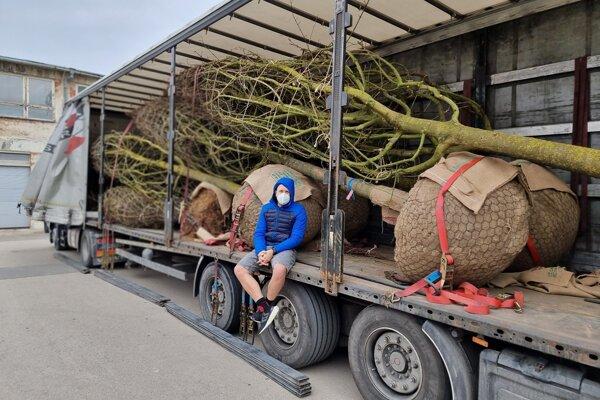 Odrastené stromy doviezli z Talianska. U nás sa také nepestujú.