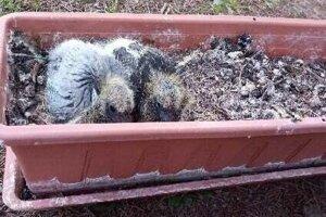 Mladé holúbky sa k sebe túlili a zohrievali sa naavzájom.