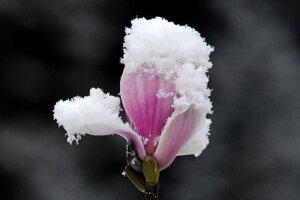 Zasnežený kvet magnólie v Gelsenkirchene.
