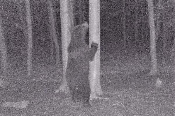 Vokolí obce Soblahov zachytila minulý mesiac fotopasca medveďa.