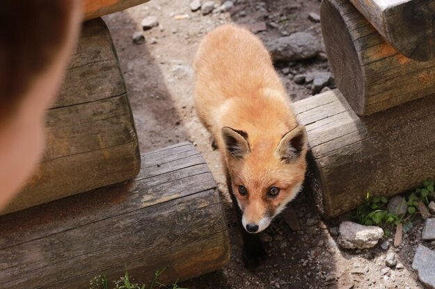 Líška na Chate pri Zelenom plese je nová turistická atrakcia. Vraj to nie je Tatrancom známa líška Eliška.
