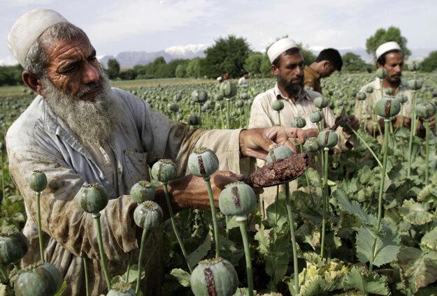 Afganskí muži počas zberu na makovom poli v Džalalabade.