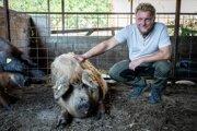 Jozef Kajan sa venuje chovu mangalíc desať rokov. Začínal s jednou, dnes ich má viac než tristo.