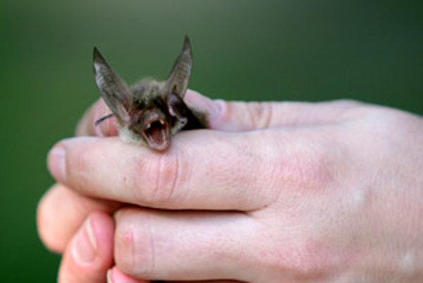Či si netopiere nájdu cestu do svojich nových domovov, ukáže až čas.