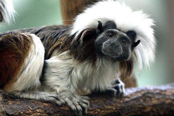 V zoo pod hradom chcú chovať asi 100 primátov z 30 druhov.