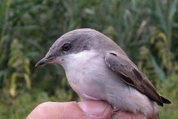 Status chráneného vtáčieho územia pre Trnavské rybníky nie je možné podľa niektorých odborníkov udržať pre intenzívny rybolov a čoraz väčšiu návštevnosť.