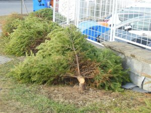 Spílili stromčeky