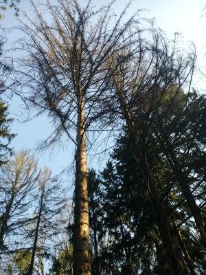 Výrub stromov na Brezine