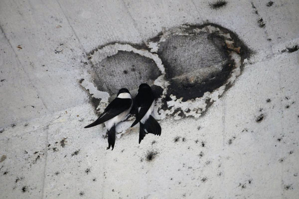 Destroyed nests of common house martins under the SNP Bridge