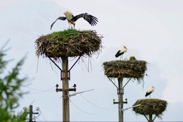 Storks in Buzica