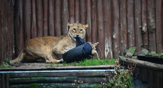 Lioness designing jeans.