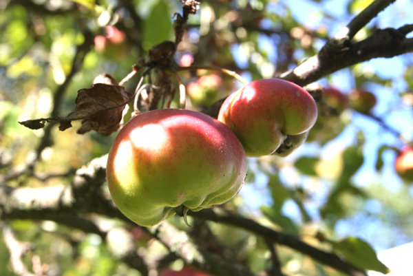 Apple Feast, illustrative stock photo.