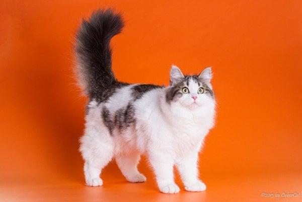 Ister Felis cat show