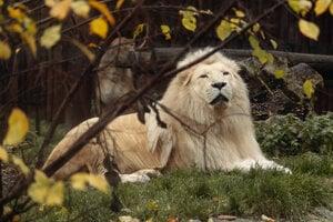 African lion Haldír