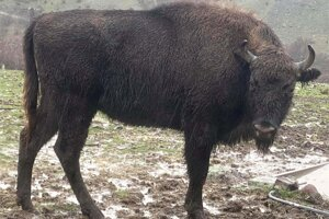 European bison Prémia in the Rhodope Mountains rewilding area in Bulgaria.