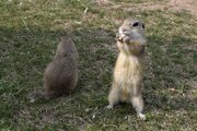 European ground squirrels revisiting the meadow after hibernation
