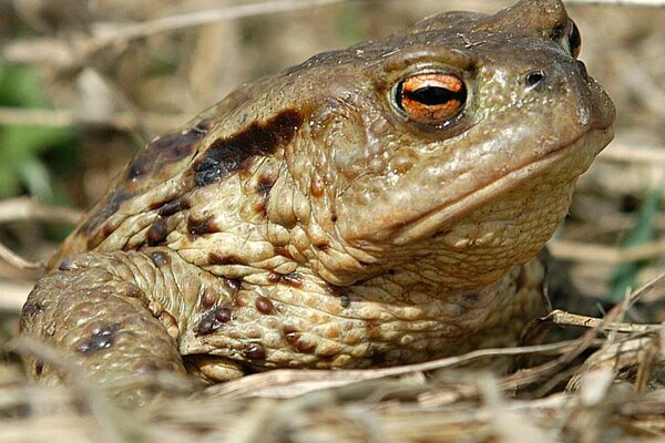 Feelin' lucky? Migrating Hrabovská Dolina toads normally come off second best in encounters with cars.