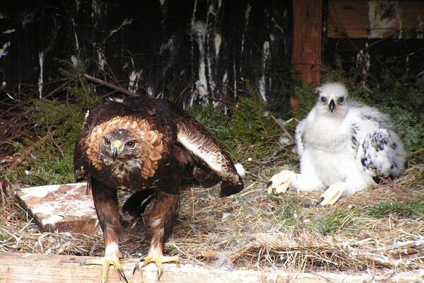 Golden Eagles like these are very rare in Slovakia