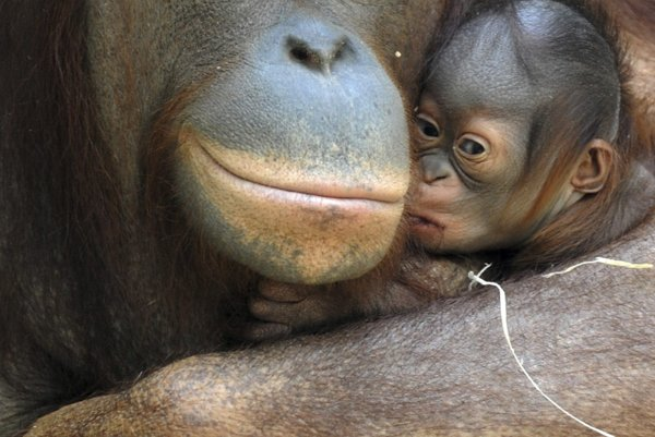 Orangutans - mother and her yet unnamed baby.