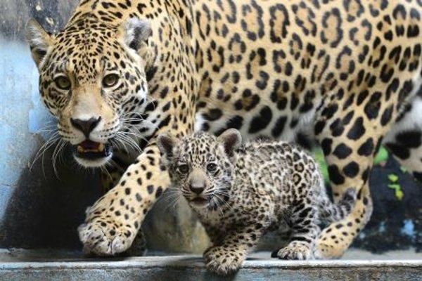 The new baby jaguar in Bratislava zoo.