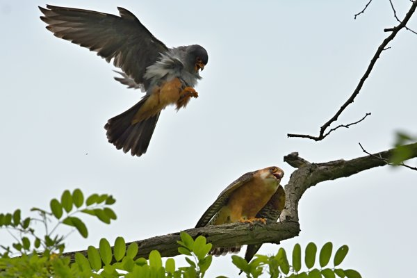 Copulating of red-footed falcons