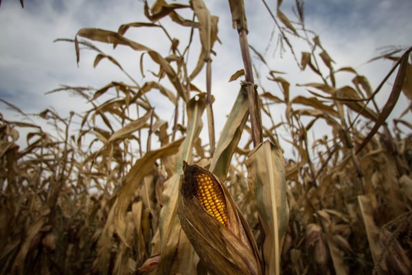 The genetically modified maize