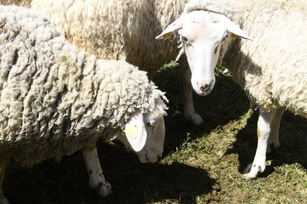 Slovakia has new national sheep breed - spectator sme sk