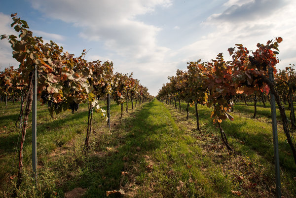 Vineyard, illustrative stock photo