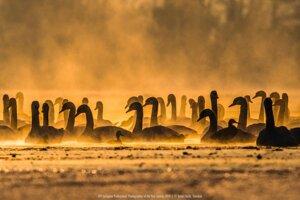 T. Hulík: Swans