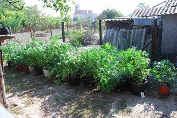 Marijuana plantation in southern Slovakia, illustrative stock photo