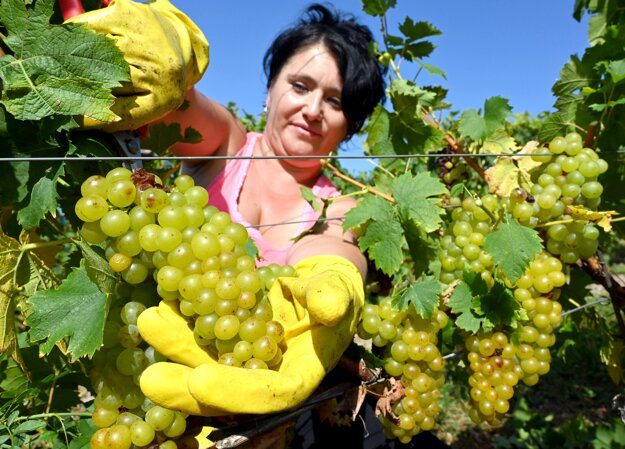 The picking of grapevine in Malá Tŕňa in the Tokaj wine region has started on September 22.