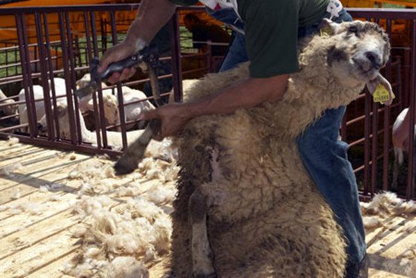 A sheep shearer in action in Liptovská Lúžna.