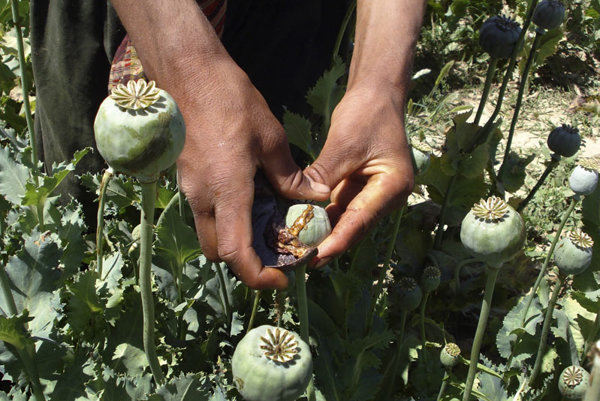 Opium being tapped from poppies.