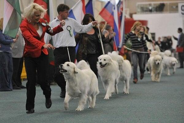 Slovak čuvačs at the Duodanube Dog Show.