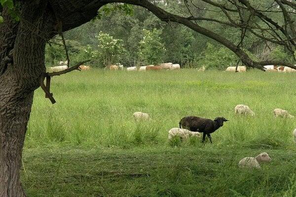 Animal grazing returns after a 50-year break.