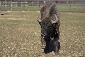 European bison - illustrative stock photo