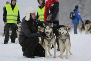 A musher preapred the dog-sled