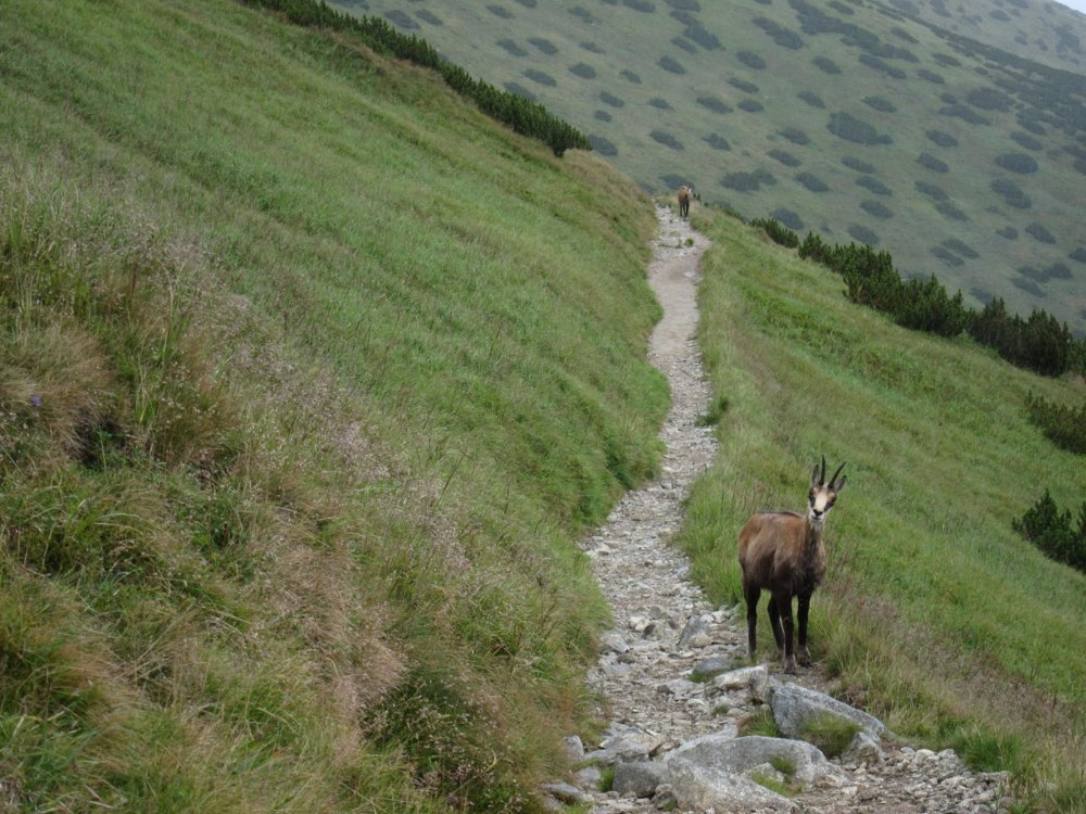 Meeting a chamois in the Low Tatras.