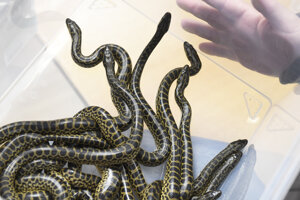 WEEK 13: A total of 11 baby Paraguayan anacondas were born in the Košice zoo on March 30, 2021.