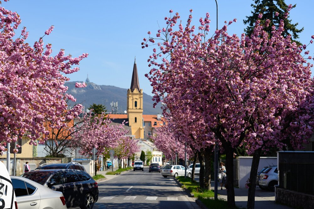 Japanese cherry trees in bloom decorate the streets of Nitra.