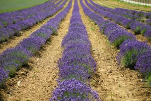 People can visit a farm in Zbehy, near Nitra, this weekend to self-pick lavender.