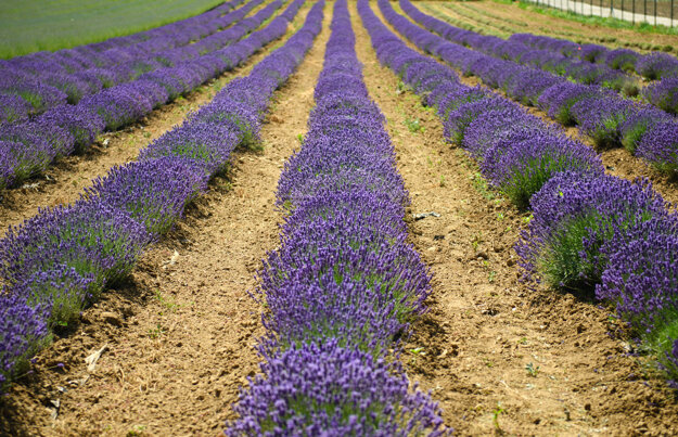 People can visit a farm in Zbehy, near Nitra,this weekend to self-pick lavender.