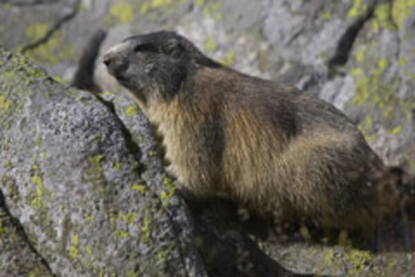 It's been an early start to the year for marmots in the High Tatras.