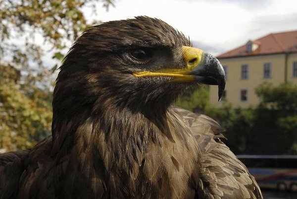 You lookin' at me? Golden eagles can now be observed live via a nest camera.