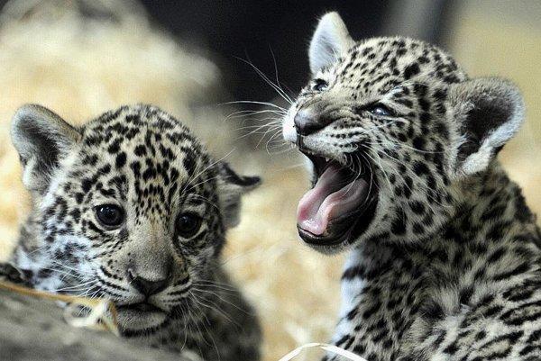 Mayra and Iazua, the zoo's newest jaguars.