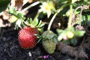 November strawberries