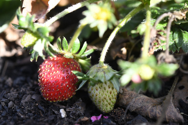 November strawberries